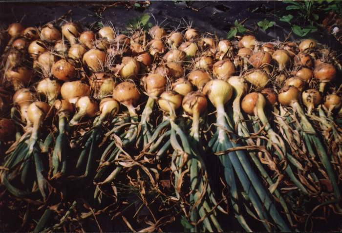 Технология выращивания лука на семена 2
