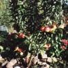 Яблонька ежегодно дает стабильный урожай