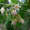 Цифомандра цветет