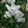 Горошек с белыми цветками