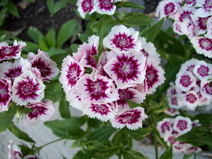 цветок турецкая гвоздика
