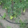 Низкорослые томаты на грядке