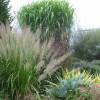 calamagrostis в ландшафте