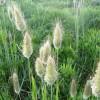 Трава заячий хвост