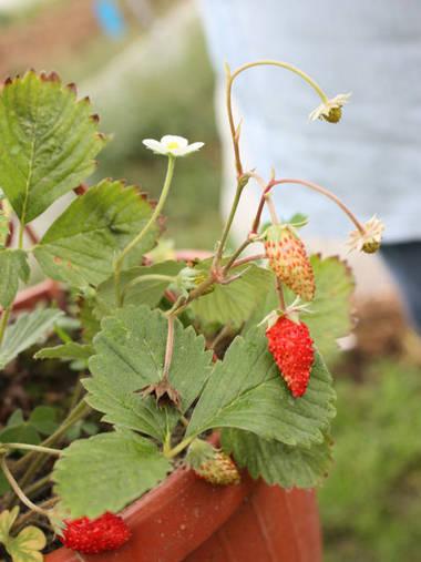 На кустике земляники одновременно можно увидеть и цветки, и зрелые плоды