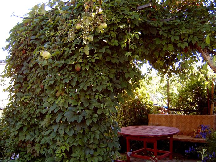 Использование винограда девичьего