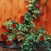 Плетистая роза набирает силу