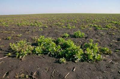 Сорняки на поле