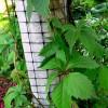 Виноград на сетке на столбе