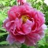 Пион древовидный, цветок
