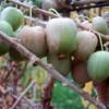 Плоды актинидии Киевской крупноплодной