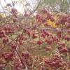 Плодоношение актинидии Пурпурная садовая