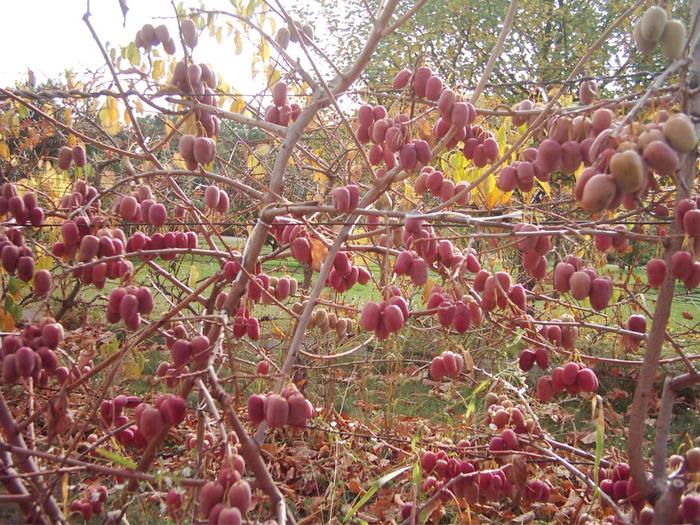 ягода актинидия фото