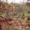 Созревание урожая на лианах и проволоке