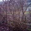 Кустовой способ выращивания актинидии