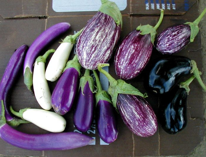 Мистер почему на плодах перца появился фиолетовый оттенок ОГРАНИЧЕННОЙ