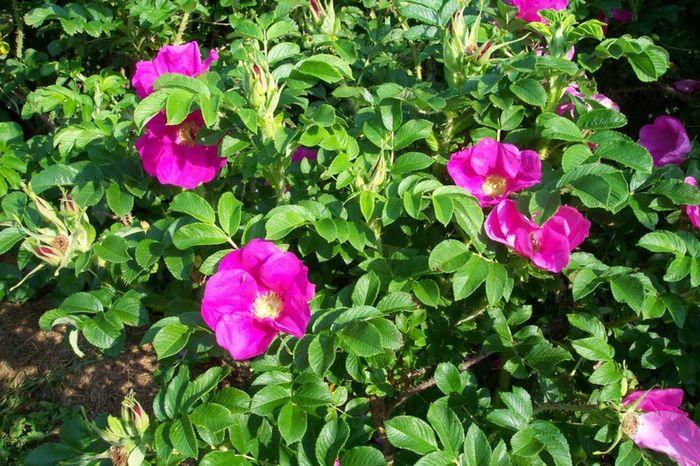 Выращивание шиповника на розы 304