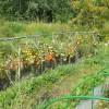 Зреет урожай