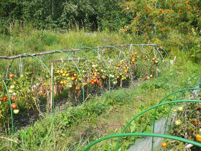 Грунтовые помидоры выращивание 59