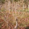 Деревце в возрасте 12-15 лет