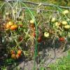 В августе кусты радовали зрелыми плодами