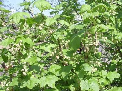Шмель трудится в цветках смородины