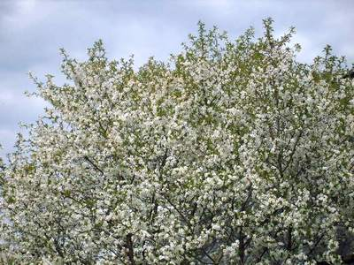 Буйное цветение вишни