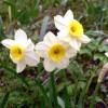 Нарцисс жонкиллиевый