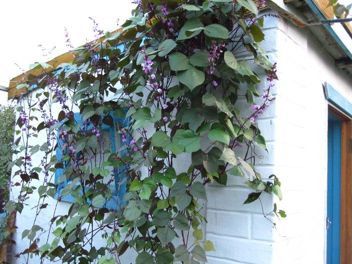Использование фасоли обыкновенной в декоративном садоводстве