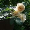 Красавица роза сорта Westerland