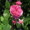 Цветет сорт Leonardo da Vinci