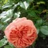 Роза сорта Charles Austin