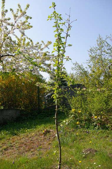 Саженец яблони весной