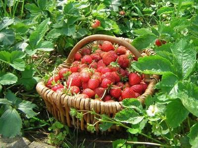Земляничный урожай