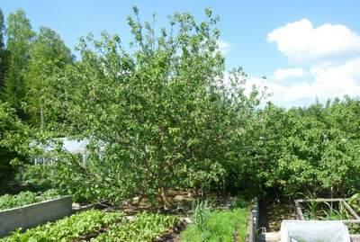 Яблони в саду автора