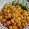 Урожай плодов кизила желтого