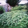 Картофель, высаженный по траве на целине