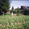 Пышно цветет картофель сорта Удача на основном поле