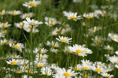 Полевые цветы ромашки картинки