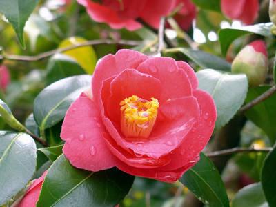 Камелия цветет
