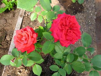 Укорененный черенок чайно-гибридной розы первого года черенкования в теплице