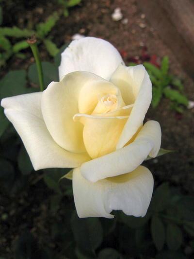 Этот чудесный цветок чайно-гибридной розы тоже расцвел на черенке первого года черенкования