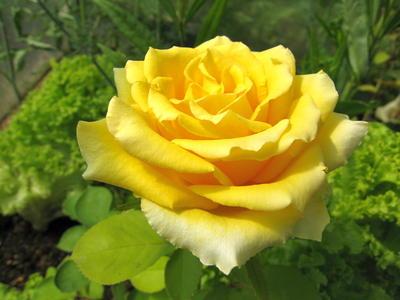 Эта красавица в прошлом году в июне была в подарочном букете, а через год сама дарит цветы