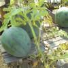 Эти арбузы выросли в открытом грунте