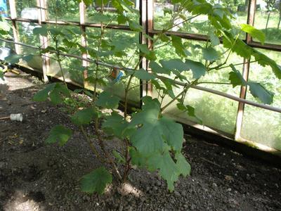 Виноград в начале лета