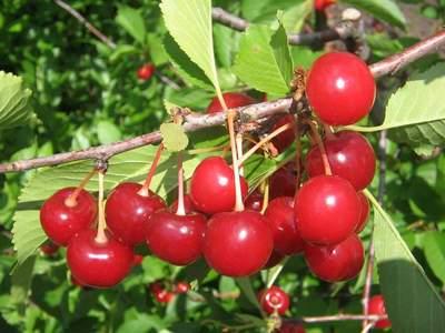 Выращивание самоплодной вишни