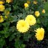 Хризантема корейская в Павловском парке