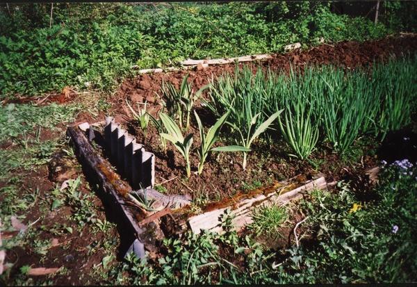 Дикий лук выращивание 83