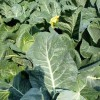 Допускается посадка цветной капусты вместе с белокочанной