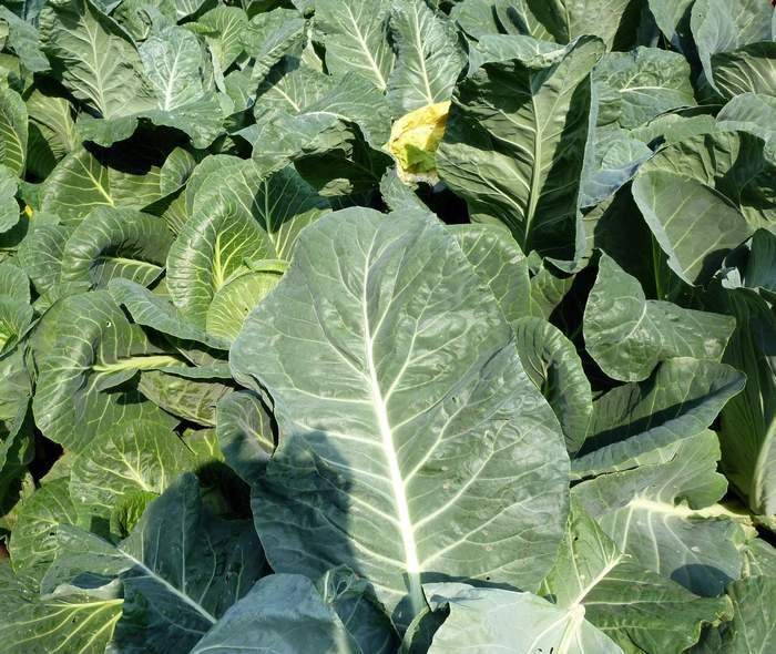 Болезни рассады цветной капусты 4